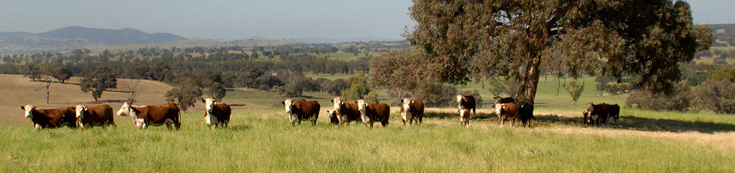 Temperate cattle